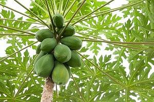 health benefits of green papaya oligosaccharide oligo superfruit